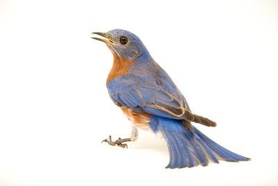 An Eastern Bluebird, Sialia Sialis.