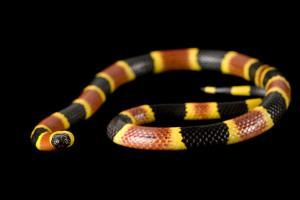An Eastern Coral Snake, Micrurus Fulvius, at the Riverbanks Zoo. by Joel Sartore