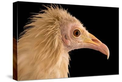 An Egyptian Vulture at Parco Natura Viva, in Bussolengo, Italy