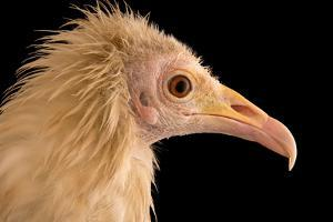 An Egyptian Vulture at Parco Natura Viva, in Bussolengo, Italy by Joel Sartore