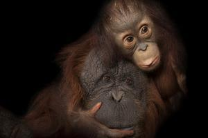 An Endangered Baby Bornean Orangutan, with Her Adoptive Mother, a Bornean/Sumatran Cross. by Joel Sartore