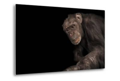 An Endangered Chimpanzee, Pan Troglodytes, at Rolling Hills Zoo.