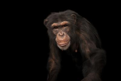 An Endangered Chimpanzee, Pan Troglodytes, at Rolling Hills Zoo by Joel Sartore