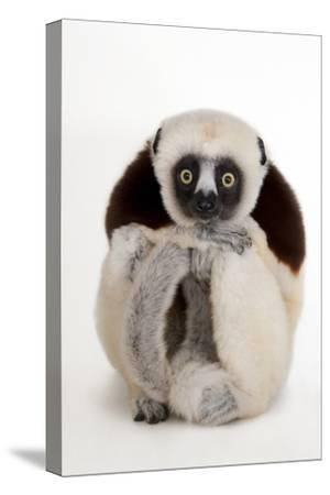 An Endangered Coquerel's Sifaka, Propithecus Coquereli, at the Houston Zoo