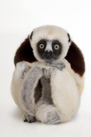 An Endangered Coquerel's Sifaka, Propithecus Coquereli, at the Houston Zoo by Joel Sartore