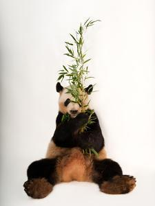 An endangered giant panda, Ailuropoda melanoleuca, at Zoo Atlanta. by Joel Sartore