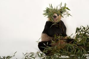 An Endangered Giant Panda, Ailuropoda Melanoleuca, at Zoo Atlanta by Joel Sartore