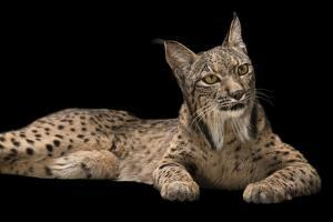 An endangered Iberian lynx, Lynx pardinus, at the Madrid Zoo. by Joel Sartore