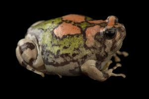 An Endangered Malagasy Rainbow Frog by Joel Sartore