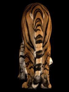An Endangered Malayan Tiger, Panthera Tigris Jacksoni by Joel Sartore
