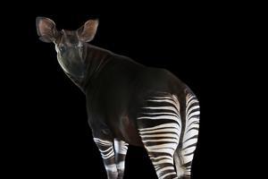 An Endangered Male Okapi, Okapia Johnstoni, at the White Oak Conservation Center. by Joel Sartore
