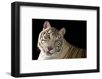 An Endangered, Male White Bengal Tiger, Panthera Tigris Tigris, at Alabama Gulf Coast Zoo.