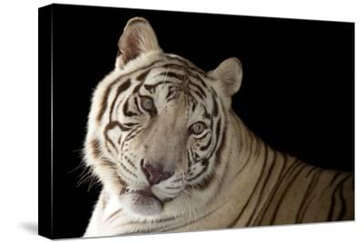 An Endangered, Male White Bengal Tiger, Panthera Tigris Tigris, at Alabama Gulf Coast Zoo.