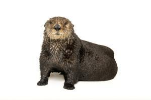 An Endangered Northern Sea Otter, Enhydra Lutris, at the Minnesota Zoo. by Joel Sartore