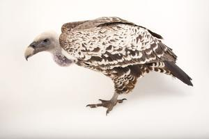 An Endangered Ruppell's Griffon Vulture at the Fort Wayne Children's Zoo by Joel Sartore