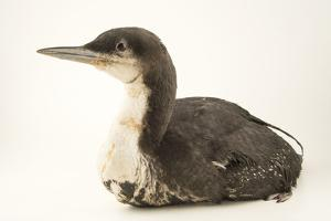 An Oiled Pacific Loon, Gavia Pacifica, at International Bird Rescue. by Joel Sartore