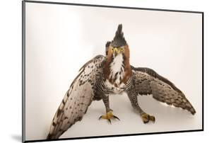 An ornate hawk eagle, Spizaetus ornatus vicarious by Joel Sartore