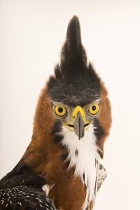 An ornate hawk eagle, Spizaetus ornatus vicarious by Joel Sartore