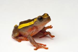 An Upper Amazon Tree Frog, Dendropsophus Bifurcus by Joel Sartore