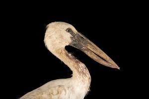 Asian openbill stork, Anastomus oscitans by Joel Sartore