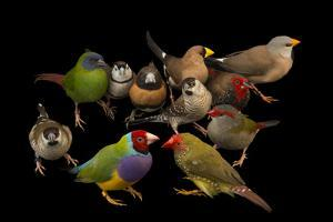Australian finches at the Plzen Zoo. by Joel Sartore
