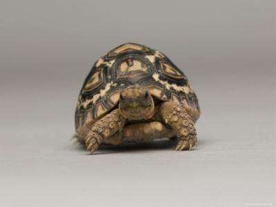 Baby Leopard Tortoise at the Lincoln Children's Zoo, Nebraska by Joel Sartore