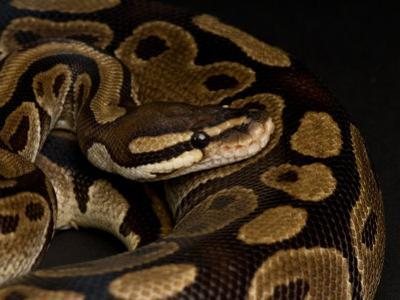 Ball Python at the Sunset Zoo in Manhattan, Kansas by Joel Sartore