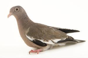Bare eyed pigeon, Patagioenas corensis by Joel Sartore
