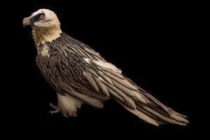 Bearded vulture, Gypaetus barbatus, at Parco Natura Viva, Bussolengo, Italy. by Joel Sartore