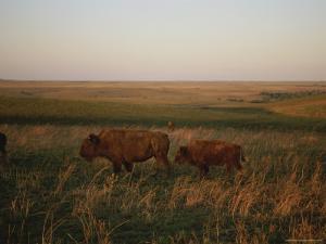 Bison Grazing in the Tallgrass Prairie Preserve in the Osage Hills by Joel Sartore