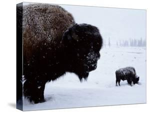 Bison in the Snow by Joel Sartore