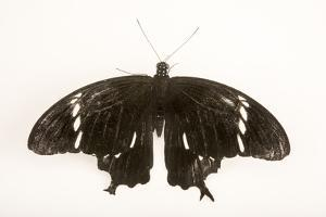 Black and white Helen at Malacca Butterfly and Reptile Sanctuary. by Joel Sartore