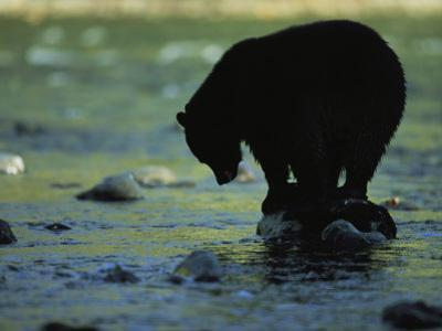 Black Bear Perched on Rock Watching for Fish