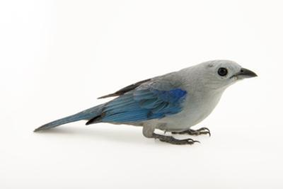 Blue-grey tanager, Thraupis episcopus by Joel Sartore