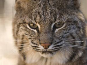 Bobcat at the Rolling Hills Zoo by Joel Sartore