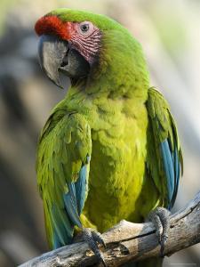 Buffon's Macaw from the Sedgwick County Zoo, Kansas by Joel Sartore