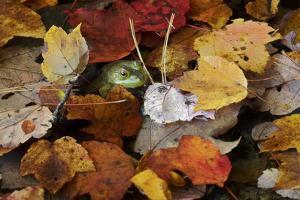 Bullfrog, Rana catesbiana, among fall leaves in Walden Pond. by Joel Sartore