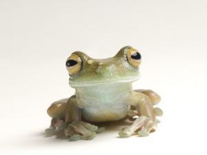 Canal Zone Tree Frog, Hysiboas Rufitelus by Joel Sartore