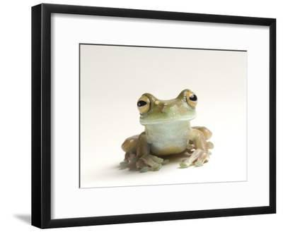 Canal Zone Tree Frog, Hysiboas Rufitelus