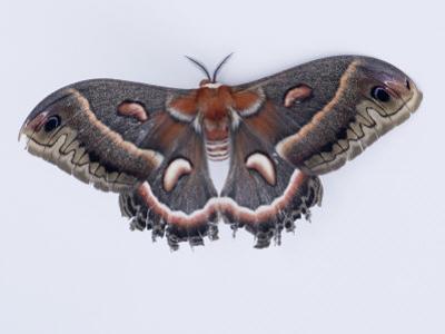 Cecropia Moth, Hyalophora Cecropia