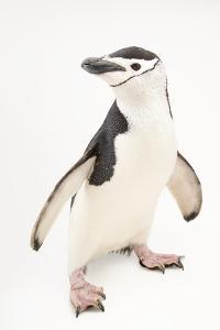 Chinstrap penguins, Pygoscelis antarctica, at the Newport Aquarium. by Joel Sartore