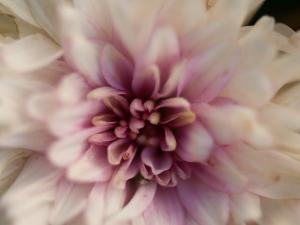 Close Up of a Chrysanthemum Flower, Elkhorn, Nebraska by Joel Sartore