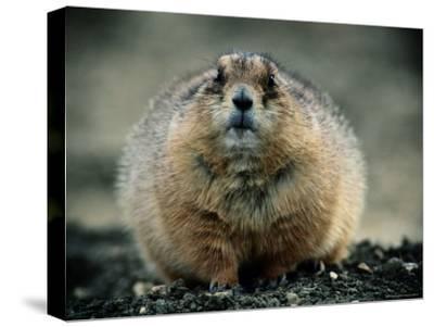 Close View of a Fat Prairie Dog