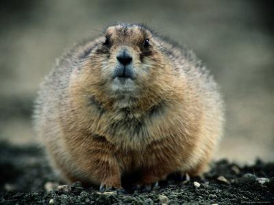 Close View of a Fat Prairie Dog by Joel Sartore