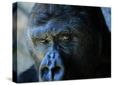 Close View of a Gorilla