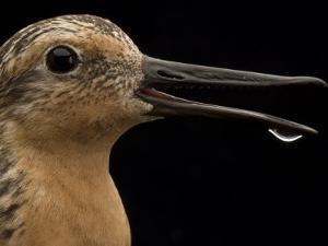 Close view of a red knot sandpiper by Joel Sartore