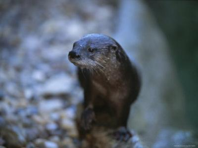 Close View of a River Otter by Joel Sartore