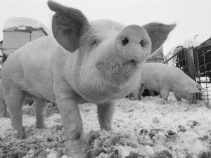 Close View of a Young Pig in a Snowy Pen by Joel Sartore