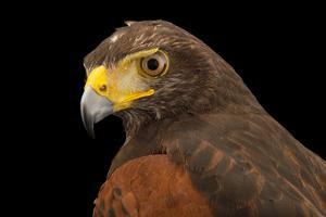 Colombian subspecies of the Harris's hawk, Parabuteo unicinctus unicinctus by Joel Sartore