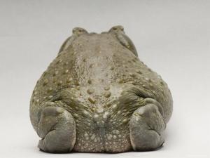 Colorado River Toad, Sedgwick County Zoo, Kansas by Joel Sartore